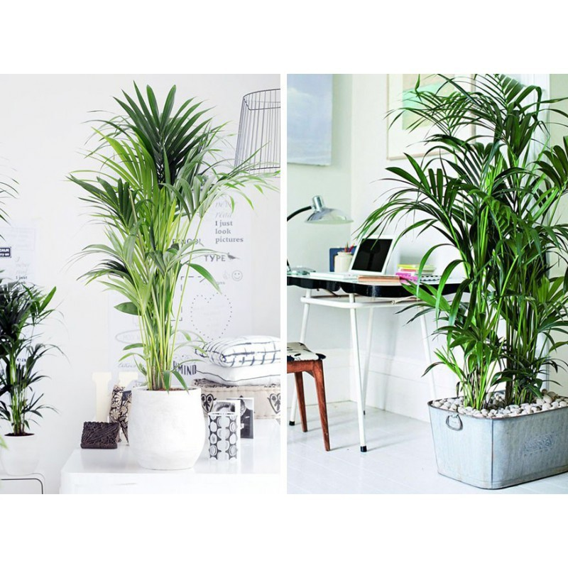 Plantas para oficinas 7deflors for Plantas decorativas para oficina