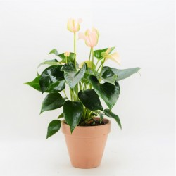 ANTHURIUM JOLI PEACH