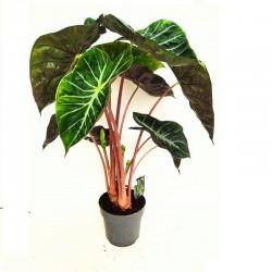 ALOCASIA PINK DRAGON, COMPRAR PLANTAS, PLANTAS ONLINE, ENVIO DE PLANTAS