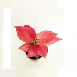 AGLAONEMA PINK STAR, COMPRAR PLANTAS, PLANTAS ORIGINALES, ENVÍO DE PLANTAS, PLANTAS DE INTERIOR, REGALAR PLANTAS ESPECIALES.