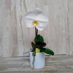 Orquidea Phalenopsis Singolo Blanco