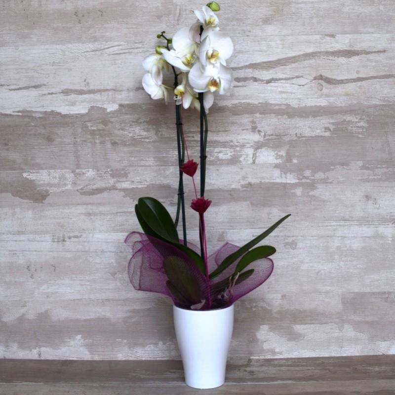 Orquídea Phalenopsis 7deflors
